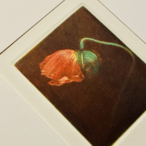 Red Poppy (papavero)